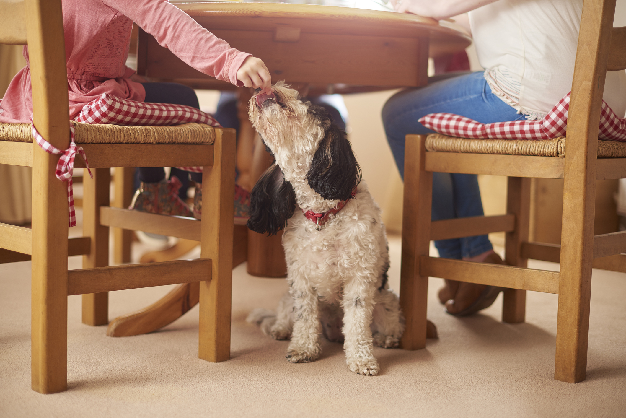 Dog eating table scraps